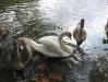 Лебеди на Черемошном